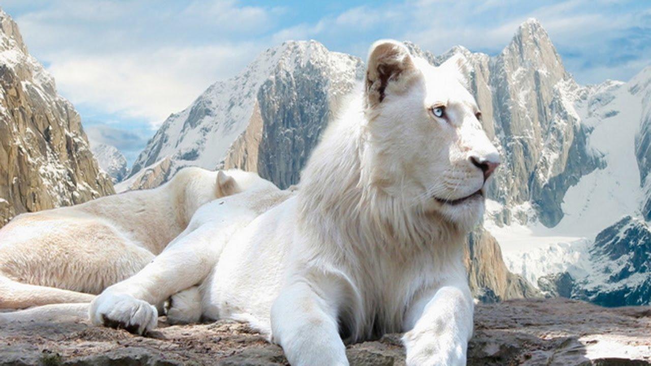 Mơ thấy sư tử trắng dự báo điềm gì?