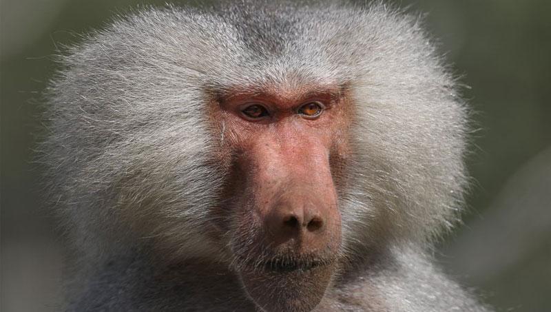 Mơ thấy khỉ đầu chó
