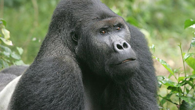 Mơ thấy khỉ đột