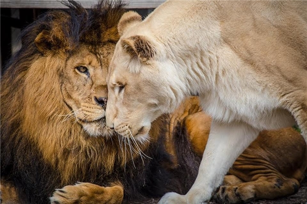 Chiêm bao thấy sư tử đánh con gì để trúng đậm