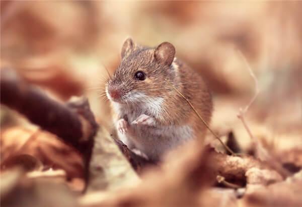 Mơ thấy chuột con mang ý nghĩa gì?